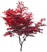 Plants.Tree.Arbre.Red.leaves.Victoriabea
