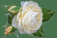 ruusu, rose, white, flower, fleur, kukka