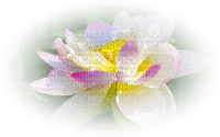 pond water lily seerose nénuphar background fond spring printemps frühling primavera весна wiosna flower fleur blossom bloom blüte fleurs blumen garden jardin paysage landscape tube