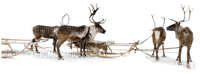 reindeer  -  Nitsa