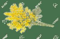mimosa  FLEUR JAUNE SHEENA