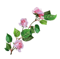 pink roses branch rose pink branche