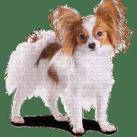 soave dog white brown