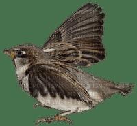 Bird.Oiseau.Pájaro.brown.Victoriabea