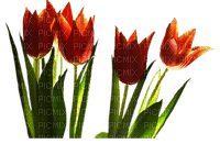 tulips flowers spring  tulipes fleurs printemps