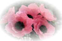 blomma-flowers--pink-rosa