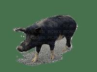 Cochon de race Corse 1