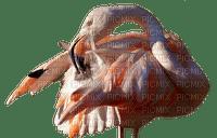 Flamingo, lintu