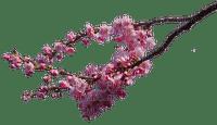 cherry blossom branch cerise branche