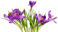 crocus  violet fleur flower