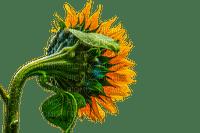 sunflower, flower, fleur, kukka