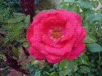 une de mes roses