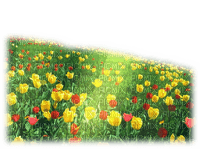 flower field, tulips