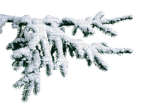 PINE TREE branch WINTER  SNOW arbre branche hiver