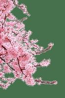 cherry blossom  Bb2