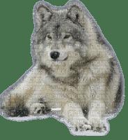 magnifique Loup
