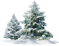 winter pine trees, sunshine3