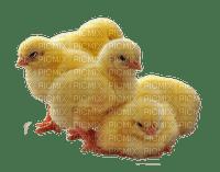 påsk-kycklingar