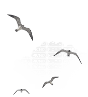 seagulls mouette