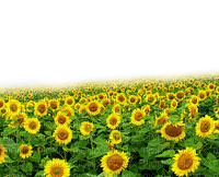 paysage, soleil, champ,summer,village, village, tournesols, GIF, animation,Orabelpng