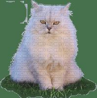 cat chat blanc