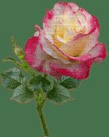 ruusu, rose, kukka flower, fleur