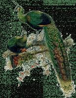 paon_paons peacock_bird---Blue DREAM 70