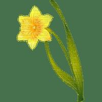 daffodil spring flower