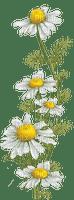 Fleurs.Camomille.wild daisies.flowers.Victoriabea