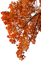 branche automne feuille_branch _ autumn leaves_+Blue DREAM 70