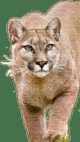 mountain lion bp