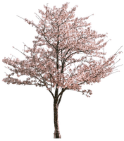 tree blossom, pink, spring, sunshine3