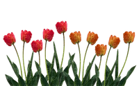 Fleur.Plants.Tulipes.Tulips.tulip.tulipe.Spring.Printemps.Garden.Flowers.Deco.Victoriabea