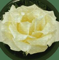 trandafir 21
