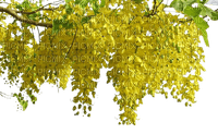 Mimosa.Fleurs.flowers.yellow.Victoriabea