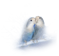 parrots love perroquets amour