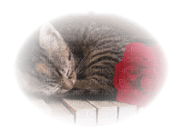 sleeping cat chat domir