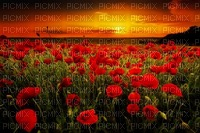 Coquelicots- Poppies