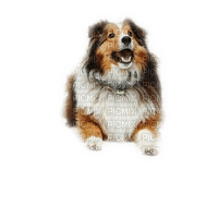 munot - tier hund - animal dog sheltie - animaux chien