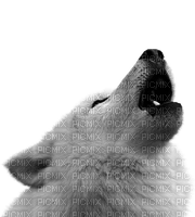 white wolf loup blanc