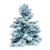 winter pine tree, sunshine3
