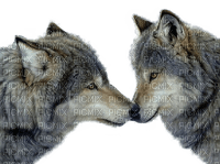 wolf winter  loup hiver