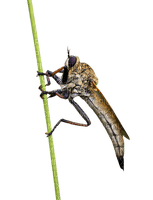 fly, hyönteinen, insect