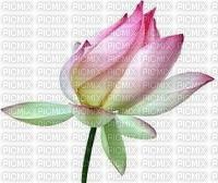 chantalmi fleur rose lotus nénuphar