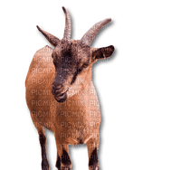Goats Chèvres Ziegen goat Chèvre ziege animal farm tube