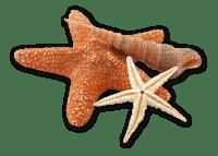 seestern beach plage sea mer meer  starfish   tube deco  étoile de mer  summer ete shell