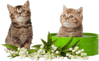 chat muguet cat british shorthair lily of the valley