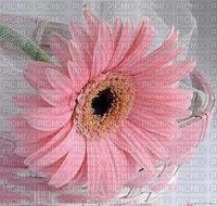 Blume, Gerbera