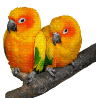 papukaija, parrot