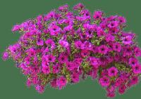Pink Petunias flowers png